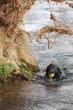 Perro en el río con la bola Foto de archivo libre de regalías