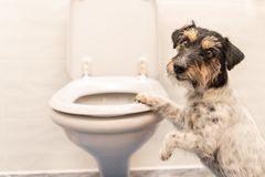 Perro en el retrete - Jack Russell Terrier imagen de archivo libre de regalías