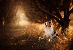 Perro en el sendero Lugar místico, árboles Pastor australiano en naturaleza foto de archivo libre de regalías