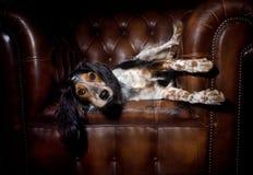 Perro en el sofá de cuero Imagenes de archivo