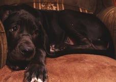Perro en el sofá que siente culpable Imagenes de archivo