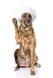 Perro en el sombrero del cocinero con una pata aumentada Aislado en blanco Fotografía de archivo libre de regalías