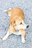 Perro en el templo Foto de archivo