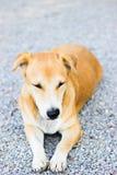 Perro en el templo Imagen de archivo libre de regalías