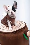 Perro en el traje Fotografía de archivo