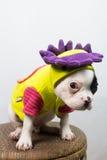 Perro en el traje Imagenes de archivo