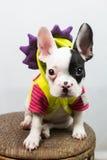 Perro en el traje Imagen de archivo