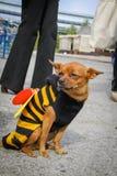 Perro en el traje de la abeja Fotografía de archivo libre de regalías