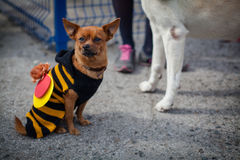 Perro en el traje de la abeja Imagen de archivo