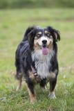 Perro en el verde Imagen de archivo libre de regalías