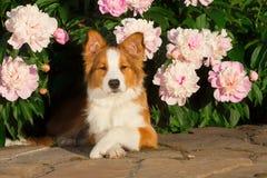 Perro en flores Fotos de archivo libres de regalías