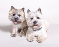 Perro en fondo Admitido un estudio fotos de archivo libres de regalías