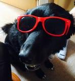 Perro en gafas de sol Fotografía de archivo