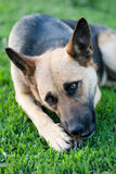 Perro en hierba foto de archivo libre de regalías