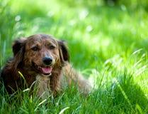 Perro en hierba Foto de archivo