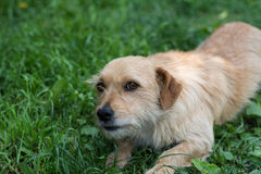 Perro en hierba Imagen de archivo libre de regalías