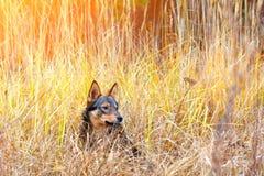 Perro en hierba alta Imagen de archivo libre de regalías