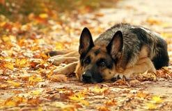 Perro en hojas de otoño amarillas y rojas imagenes de archivo