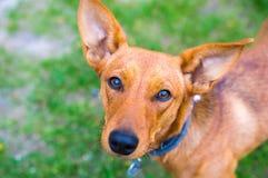 Perro en la anticipación imagen de archivo libre de regalías