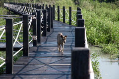Perro en la calzada de madera Imagen de archivo libre de regalías