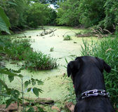 Perro en la charca del verde del verano Imagen de archivo libre de regalías