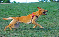 Perro en la corrida que descubre sus dientes Foto de archivo libre de regalías