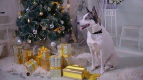 Perro en la decoración de la Navidad del interior El animal doméstico miente cerca del árbol de navidad en sala de estar