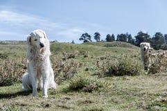 Perro en la montaña superior Foto de archivo libre de regalías