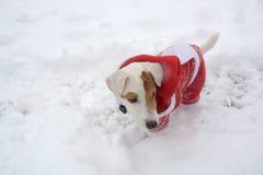 Perro en la nieve con la Navidad traje el 29 de diciembre de 2014 Imágenes de archivo libres de regalías