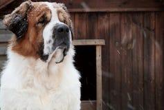 Perro en la nieve en invierno Imagen de archivo