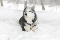 Perro en la nieve samoyedo Imagen de archivo