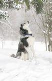 Perro en la nieve samoyedo el perro obedece el comando de servir Foto de archivo