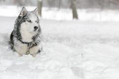 Perro en la nieve samoyedo Mirada en la distancia Foto de archivo
