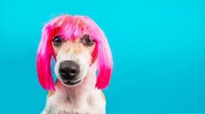 Perro en la peluca rosada que mira con desprecio y la sospecha lengüeta Retrato divertido Fondo para una tarjeta de la invitación fotos de archivo