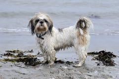 Perro en la playa Fotos de archivo libres de regalías