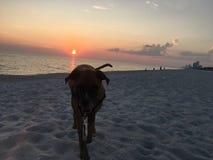 Perro en la playa arenosa en la puesta del sol Imágenes de archivo libres de regalías