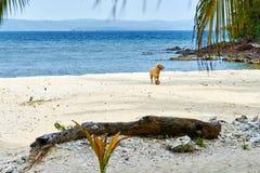 Perro en la playa con el coco Fotos de archivo