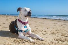 Perro en la playa de Jalama cerca de Lompoc Imagenes de archivo