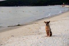 Perro en la playa en la puesta del sol Imagen de archivo libre de regalías