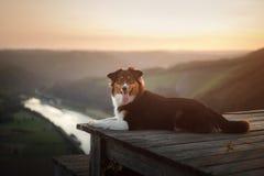 Perro en la puesta del sol en naturaleza Animal doméstico en un puente de madera pastor australiano obediente foto de archivo