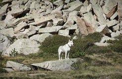 Perro en la roca Imagen de archivo libre de regalías