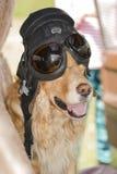 Perro en la rueda de un coche en un casco de cuero Imagen de archivo
