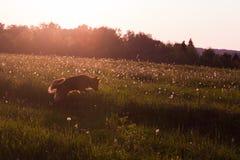 Perro en la tarde Foto de archivo libre de regalías