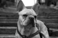 Perro en las escaleras Fotografía de archivo libre de regalías