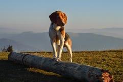 Perro en las montañas Imagenes de archivo