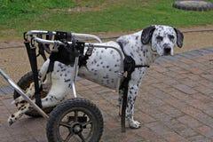 Perro en las ruedas Foto de archivo libre de regalías