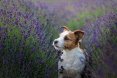 Perro en lavanda Jack Russell Terrier en flores imagenes de archivo