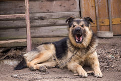 Perro en los bostezos de cadena El perro guardián casero está bostezando Foto de archivo