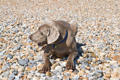 Perro en los guijarros Fotografía de archivo