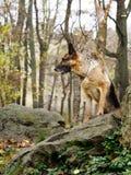 Perro en madera en las piedras cubiertas con un musgo Fotos de archivo